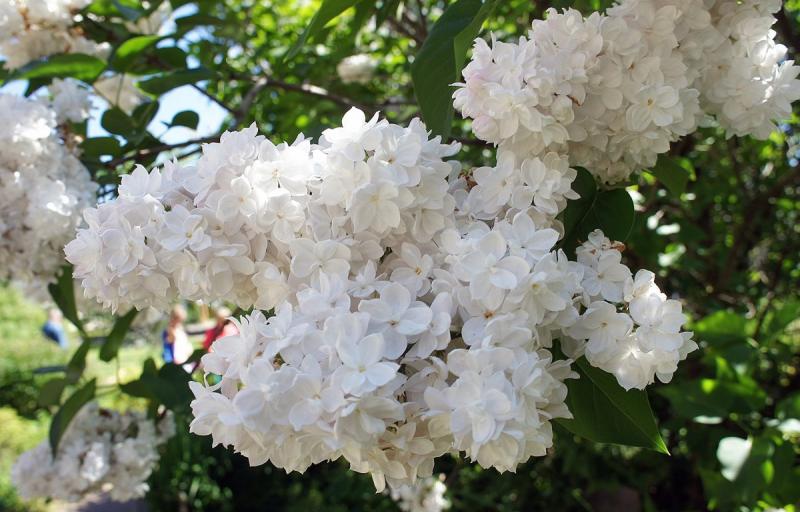 Мадам Лемуан на Пулков Сад