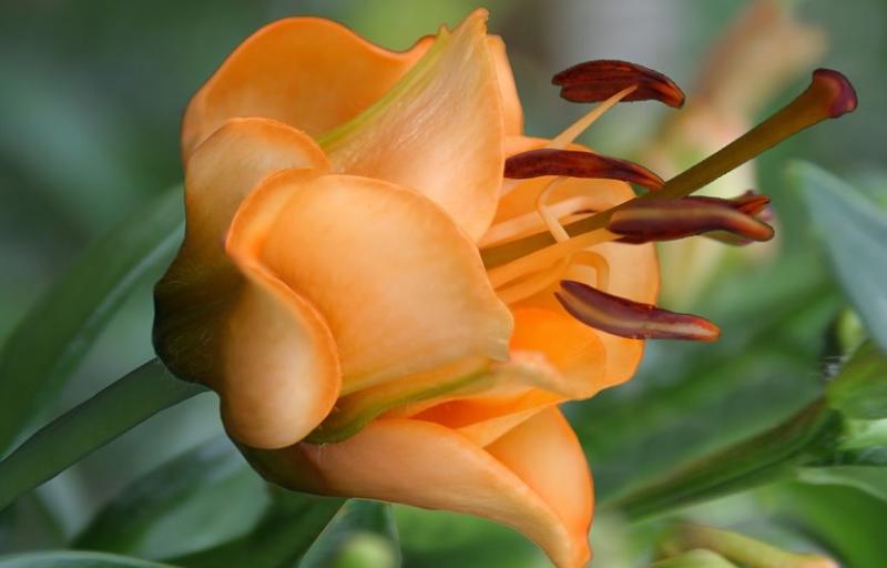 Apricot Fudge на Пулков Сад