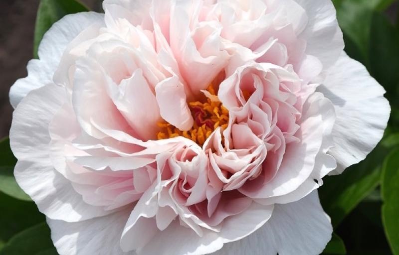 Blushing Princess на Пулков Сад